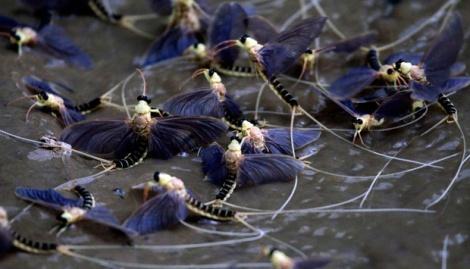 Serangga Mayfly 3